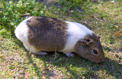 Guinea pig mammal rodent wool zoo Royalty Free Stock Images