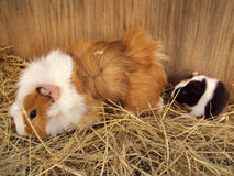 Guinea pig mom Stock Images