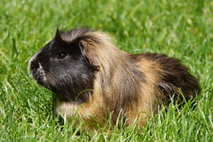 Guinea pig. Multicolored guinea pig (Cavia porcellus) with long hair sitting in the grass royalty free stock photo