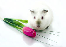 Guinea pig near tulip Stock Photo