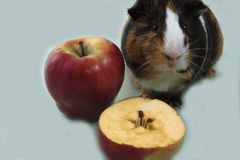 Guinea pig and one and a half apple. stock photo
