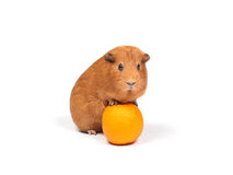 Guinea pig and orange Royalty Free Stock Photo
