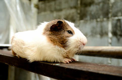 The guinea pig out door Royalty Free Stock Photo