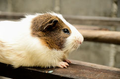 The guinea pig out door Stock Image