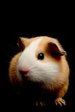 Guinea pig over black Stock Photos