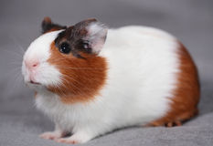 Guinea pig over gray 1. Young guinea pig sits on gray sofa Stock Photography