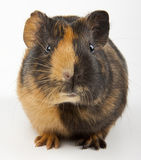 Guinea pig over white. Guinea pig closeup shot over white Royalty Free Stock Photography