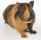 Guinea pig over white Royalty Free Stock Photos