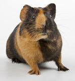 Guinea pig over white. Guinea pig closeup shot over white Royalty Free Stock Photos