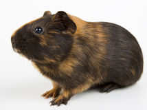 Guinea pig over white. Guinea pig closeup shot over white Stock Image