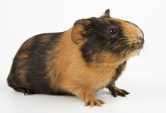 Guinea pig over white. Guinea pig closeup shot over white Royalty Free Stock Images