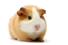 Guinea pig over white. Cute guinea pig shot over white Stock Image