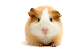 Guinea pig over white. Guinea pig closeup shot over white Stock Photography