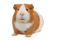 Guinea pig over white background. Red guinea pig over white background stock images
