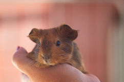 Guinea pig in the palm of your hand. Little ginger Guinea pig at the hands of Royalty Free Stock Image