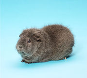 Guinea Pig. Pedigree guinea pig on blue background royalty free stock photography