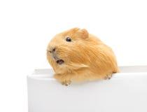 Guinea pig peeking Stock Photography