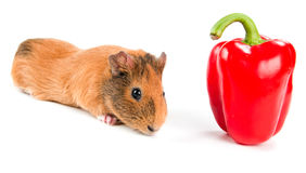 Guinea pig and pepper Royalty Free Stock Photography