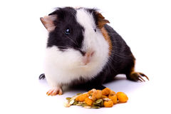 Guinea pig, pet animal isolated on white Royalty Free Stock Photos