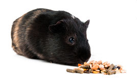 Guinea pig with pet food. Guinea pig with carrot isolated Royalty Free Stock Photography