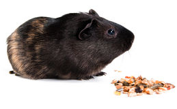 Guinea pig with pet food. Guinea pig with carrot isolated on white background Stock Photo
