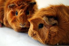 Guinea Pig Pets. Two brown guinea pig pets
