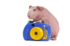 Guinea Pig Photographer Royalty Free Stock Image