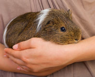 Guinea pig Royalty Free Stock Photos