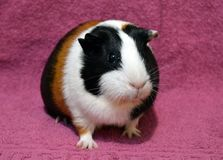 Guinea pig on a pink background stock image
