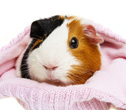 Guinea pig in a pink cap Royalty Free Stock Photo