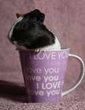 Guinea Pig in Pink Coffee Mug Royalty Free Stock Photos