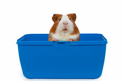 Guinea pig in a plastic animal carry cage. Over white background stock image