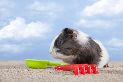 Guinea pig playing in the sand Stock Images