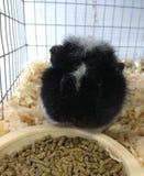 Guinea Pig at a Popular County Fair, Pennsylvania, USA Royalty Free Stock Photography