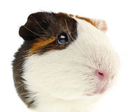 Guinea pig portrait. Portrait of guinea pig on white background Royalty Free Stock Photo