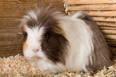Guinea pig portrait Stock Photos