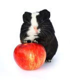 Guinea pig portrait with apple. Stock Image
