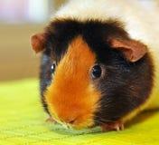 Guinea pig portrait. Guinea pig (Cavia porcellus) is popular household pet Royalty Free Stock Images