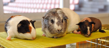 Guinea pig portrait. Guinea pig (Cavia porcellus) is popular household pet Royalty Free Stock Photo