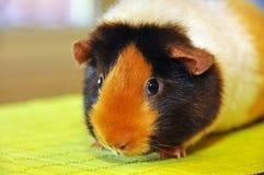 Guinea pig portrait. Guinea pig (Cavia porcellus) is popular household pet Stock Photos