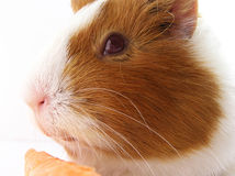 Guinea pig. Portrait of guinea pig snout Royalty Free Stock Image