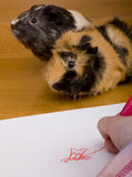 Guinea pig posing for drawing Royalty Free Stock Images