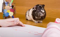 Guinea pig posing for drawing Stock Images