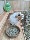Guinea Pig posing next to his plate of feed in his huge house stock images