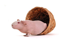 Guinea Pig in a pot Royalty Free Stock Images
