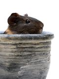 Guinea pig in pot Royalty Free Stock Photography