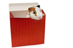 Guinea pig in the present box. Isolated on white royalty free stock images