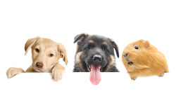 Guinea pig and Puppy Royalty Free Stock Images