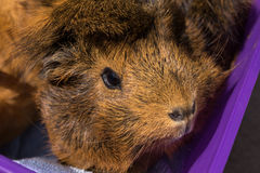 Guinea pig in purple basket Royalty Free Stock Images