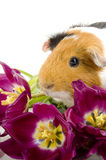 Guinea pig between purple tullips Royalty Free Stock Photo